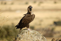 Black vulture Stock Images