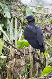 Black vulture. Is  looking out for carrion Stock Photo
