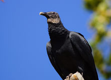 Black vulture Stock Photos