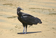 Black vulture Royalty Free Stock Image