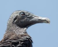 Black Vulture. Close-up of the head of a Black Vulture (Coragyps atratus) with droopy eyes  in the Everglades National Park Royalty Free Stock Image