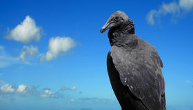 Black Vulture. Latin name Coragyps atratus against a blue sky Royalty Free Stock Photography
