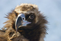 Black vulture. Black vulture close-up Stock Photography