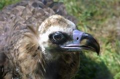 Black vulture (Aegypius monachus) Royalty Free Stock Photos