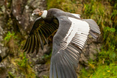 Black Vulture Andean Condor. The Andean Condor Is A Large Black Vulture With A Ruff Of White Feathers Surrounding The Base Of The Necks Royalty Free Stock Image