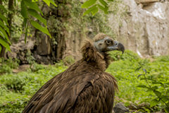 A black vulture on the background. Of rocks and trees Royalty Free Stock Images