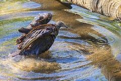 Black Vulture Bathing And Splashing Royalty Free Stock Photo