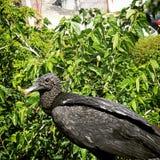 Black vulture Royalty Free Stock Photos