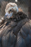 Black vulture. A bird of prey Royalty Free Stock Photography