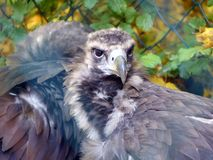 A black vulture in close-up.  Stock Images
