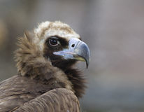 Black vulture close up. Black vulture  close up eagle rock background Royalty Free Stock Photos