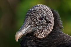 Black vulture. Close-up of a bald, scaly head of a black vulture Royalty Free Stock Photo