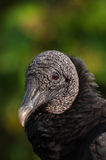 Black vulture. Close-up of a bald, scaly head of a black vulture Stock Photography