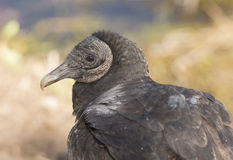 Black Vulture Close up View. Black Vulture in the Everglades Stock Images