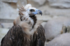 Black Vulture Stock Photo