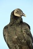 Black Vulture (Coragyps atratus) Stock Image