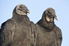 Black Vulture (Coragyps atratus) Stock Photos