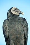 Black Vulture (Coragyps atratus) Stock Images