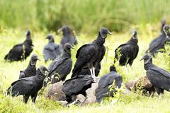 Black Vulture Coragyps atratus. Eating carrion stock images