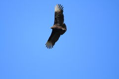 Black Vulture Royalty Free Stock Photos