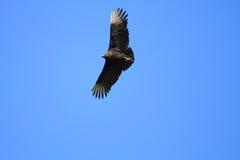 Black Vulture. (Coragyps atratus) in Florida Royalty Free Stock Photos