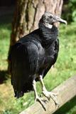 Black vulture, coragyps atratus Royalty Free Stock Image