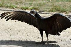Black vulture, coragyps atratus. Portrait of a black vulture, coragyps atratus with widely spread wings stock image