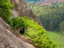 Black Vulture Coragyps atratus on rock with far background royalty free stock photos