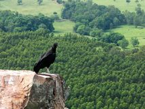 Black Vulture Coragyps atratus on rock with far background stock photography