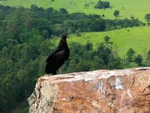 Black Vulture Coragyps atratus on rock with far background stock photos