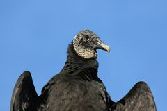 Black Vulture Close-Up Royalty Free Stock Photos