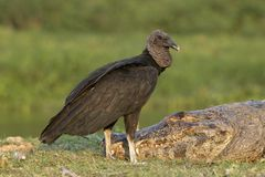 Black vulture, Coragyps atratus Stock Photos