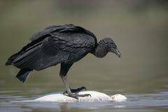 Black vulture, Coragyps atratus Stock Photography
