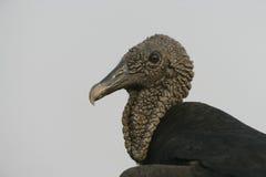 Black vulture, Coragyps atratus. Single bird head shot, Brazil royalty free stock photos