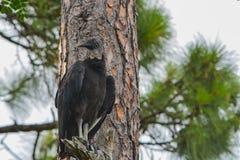 A black vulture coragyps atratus in a tree at McGough Nature Park in Largo, Florida. A black vulture coragyps atratus at McGough Nature Park in Largo, Florida stock photo