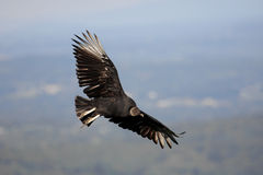 Black Vulture (Coragyps atratusz) Stock Photography