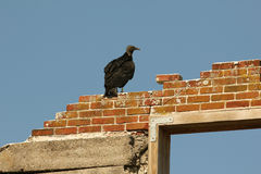Black Vulture - Cumberland Island, Georgia. Black Vulture (Coragyps atratus) perched on the ruins of Dungeness mansion on Cumberland Island, Georgia Royalty Free Stock Images