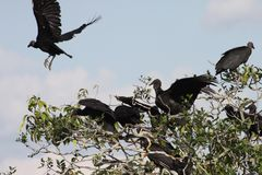 Black vulture in the Department of Guaviare Royalty Free Stock Images