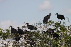 Black vulture in the Department of Guaviare Royalty Free Stock Photos