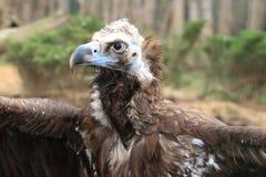 Black vulture Stock Images