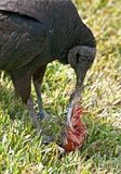Black Vulture Eating Stock Images