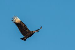 Black Vulture in flight. With blue skies in the back ground Stock Image