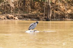 Black vulture floating over a dead cayman on  river from Pantana. Black vulture floating over a dead cayman on river from Pantanal, Brazil. Brazilian wildlife Royalty Free Stock Images