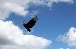 Black Vulture flying in the sky looking for something.