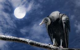 Black vulture and full moon. Spooky concept of a dark sky and full moon with a black vulture perched on a tree branch royalty free stock photos