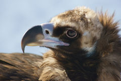 Black vulture head. Black vulture close up Royalty Free Stock Photography
