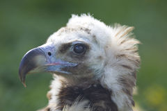 Black vulture head close up Stock Images
