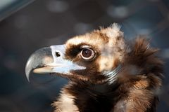 Free Black Vulture Head Closeup Stock Image - 166227721