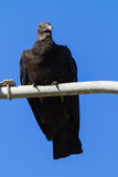 Black Vulture on a lamppost Royalty Free Stock Photo