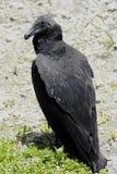 Black Vulture. Latin name Coragyps atratus Stock Photos